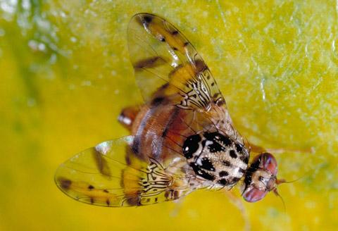 farmapest meyve sineği resimleri ile ilgili görsel sonucu