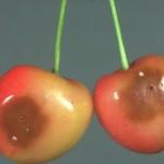 Meyvedeki Zararı
