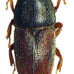 Scolytus rugulosus