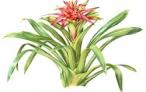 Kırmızı Yıldız ( Guzmania lingulata)